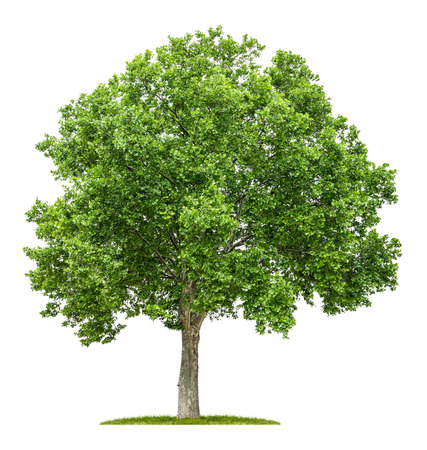 Photo for isolated plane tree on a white background - Royalty Free Image