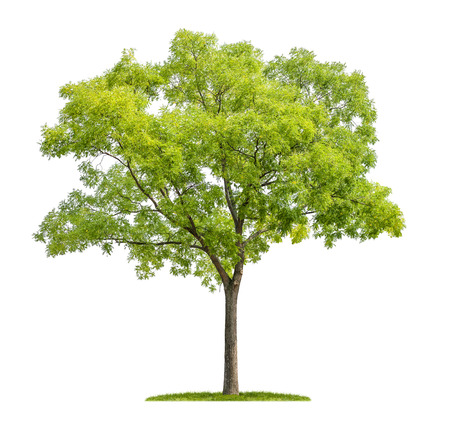 Foto de isolated pagoda tree on a white background - Imagen libre de derechos