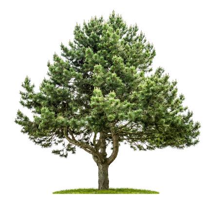 Foto de Old pine tree on a white background - Imagen libre de derechos