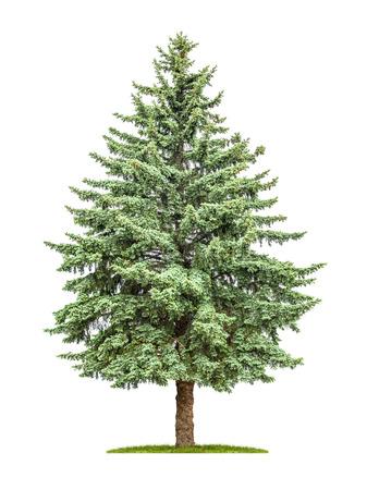 Photo pour A pine tree on a white background - image libre de droit