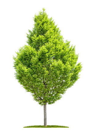 Photo pour An isolated hornbeam tree on a white background - image libre de droit