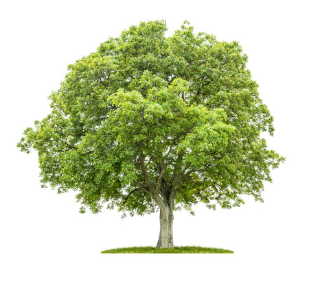 Foto de Old walnut tree on a white background - Imagen libre de derechos