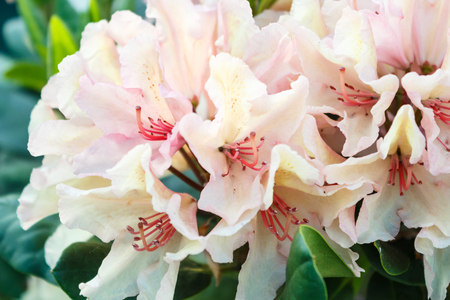 Photo pour Rhododendron (azalea ) flowers of various colors in the spring garden. Closeup. Blurred background. - image libre de droit