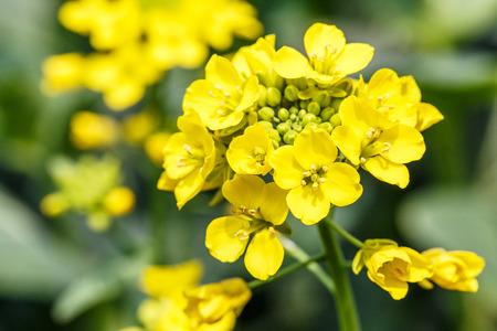 Foto de rape flower in the spring - Imagen libre de derechos