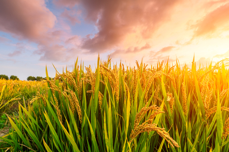 Foto de Ripe rice field and sky background at sunset time with sun rays - Imagen libre de derechos