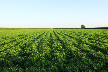 Photo pour The peanut growing in the field - image libre de droit