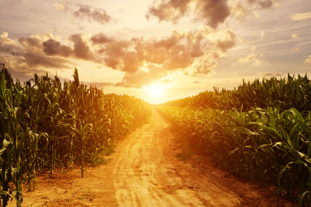 Photo for skyline and corn field - Royalty Free Image