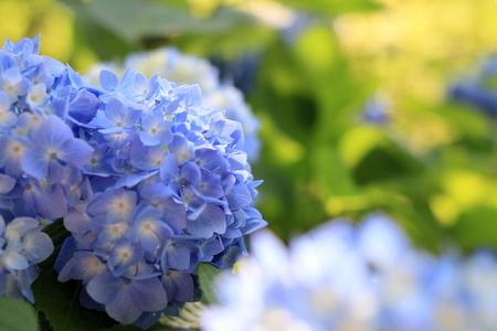 Photo for hydrangea in Kamakura, Kanagawa, Japan (one blue flower) - Royalty Free Image
