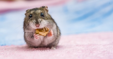 Photo for russian hamster in front of white background portrait, hamster, - Royalty Free Image