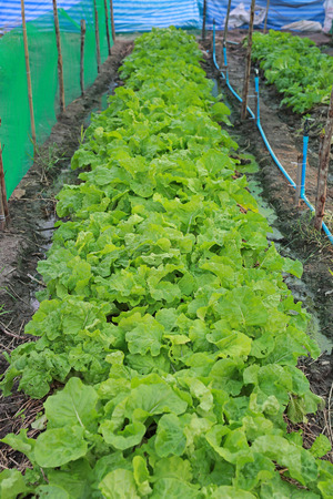 Lettuce planting, Fresh and healthy.