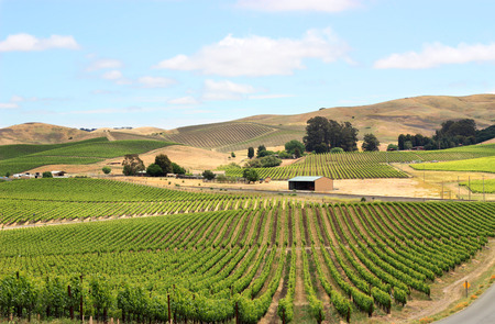 Photo pour Scene of vineyard field in napa valley - image libre de droit