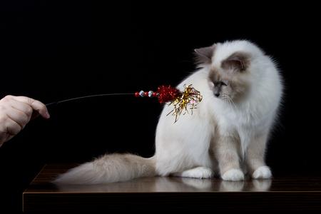 Gray white longhair cat playing