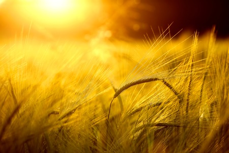 Photo pour Barley field in golden glow of evening sun - image libre de droit