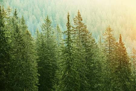 Foto de Healthy, big green coniferous trees in a forest of old spruce, fir and pine trees in wilderness area of a national park, lit by bright yellow sunlight. Sustainable industry, ecosystem and healthy environment concepts. - Imagen libre de derechos