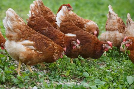Foto de Free-range hens (chicken) on an organic farm, freely grazing on a meadow. Organic farming, animal rights, back to nature concept. - Imagen libre de derechos