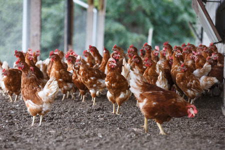 Foto de Group of free-range chicken freely grazing outside of organic farm. Organic farming, animal rights, back to nature concept. - Imagen libre de derechos