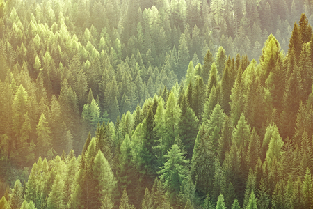 Foto de Healthy green trees in a forest of old spruce, fir and pine trees in wilderness of a national park, lit by bright yellow sunlight. Sustainable industry, ecosystem and healthy environment concepts. - Imagen libre de derechos
