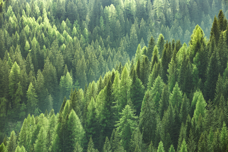 Photo pour Healthy green trees in a forest of old spruce, fir and pine trees in wilderness of a national park. Sustainable industry, ecosystem and healthy environment concepts and background. - image libre de droit
