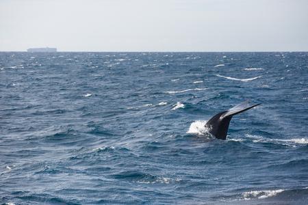 Foto de Blue whale watching safari in Sri Lanka. Blue whale in the open sea. Tail of big blue whale. - Imagen libre de derechos