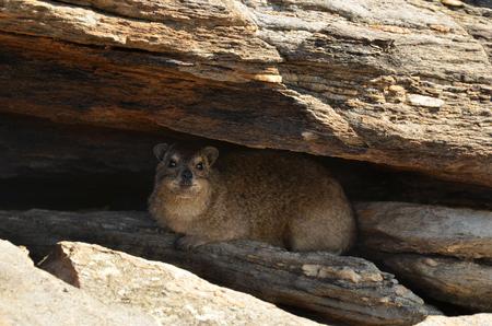 Photo for Rock daman (Heterocxyrax) Rock Hyrak. Namibia, Africa - Royalty Free Image