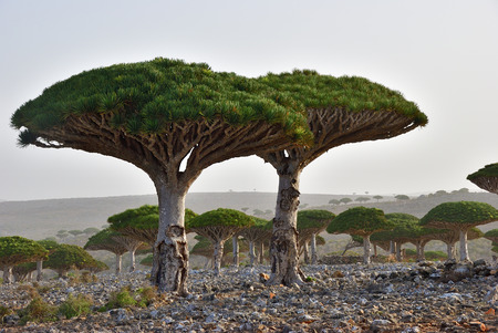 Photo for Dragon trees at Dixam plateau Socotra Island shown at sunset, Yemen, Africa - Royalty Free Image