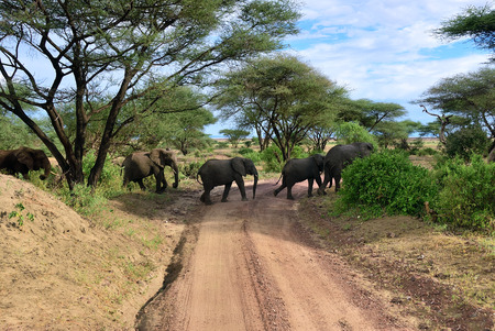 Photo pour African elephants (Loxodonta Africana) crossing a dirt road in the Lake Manyara National Park, Tanzania, Africa - image libre de droit