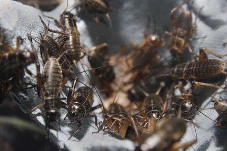 medium sized black crickets on egg boxes Gryllus assimilis