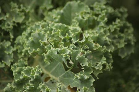 Leaves of the Kale plant at a kitchen Garden in Nieuwerkerk aan den IJssel