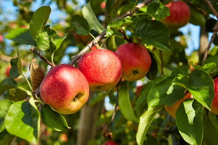 Photo for red apples on the trees in the orchard - Royalty Free Image