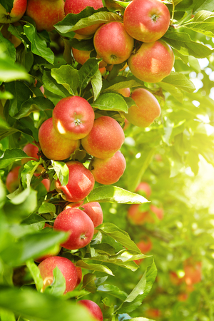 Photo for Red apples on apple tree branch - Royalty Free Image