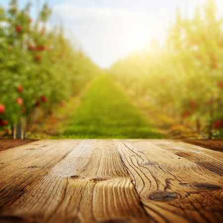 Photo for table space and apple garden of trees and fruits - Royalty Free Image