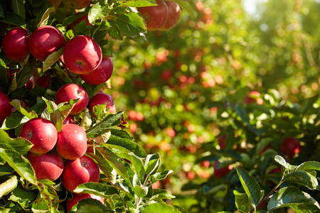 Photo for Apple Orchard - Royalty Free Image