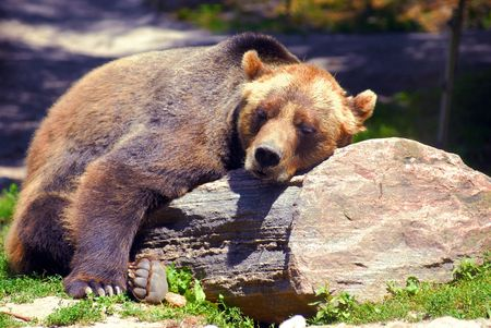 Photo pour Grizzly bear sleeping on a rock, on a nice sunny day - image libre de droit