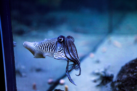 Photo for Cuttlefish in the aquarium. Amazing sweet zebra striped cephalopoda looking straight into the eyes of the observer. - Royalty Free Image
