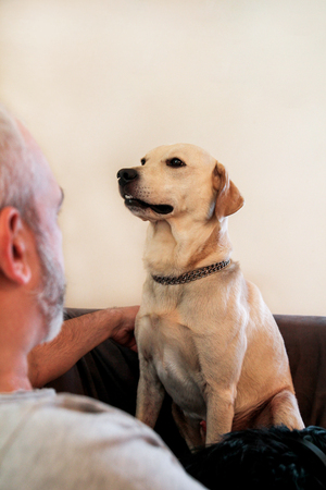Yellow labrador retriever dog enjoys the company of his owner sitting on a couch together and petting a lovely dogs. Owner having fun with his pet concept. cute doggy, pretty, pet, domestic animal.