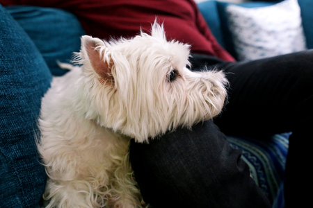 West Highland White Terrier dog enjoys company of his owner sitting on couch together and petting lovely dogs.