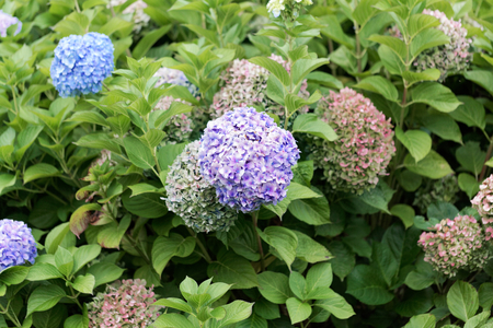 Photo for Flowers of a French hydrangea (Hydrangea macrophylla) - Royalty Free Image