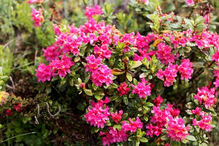 Photo pour An alpenrose (Rhododendron ferrugineum) bush with flowers, in the Austrian Alps. - image libre de droit
