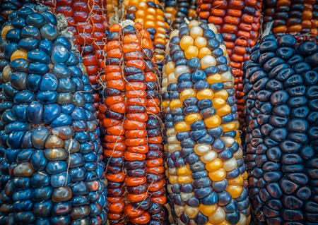 Foto de Indian colored corn background - Imagen libre de derechos
