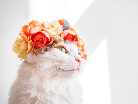 Foto de Beautiful Calico Cat with a wreath on his head. Cute kitty in a flowers diadem on her head sits in the sun and looks away. - Imagen libre de derechos