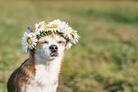 Foto de A cute little dog chihuahua with a wreath of chamomile on her head sits in the sun in the meadow with closed eyes. Doggy enjoying the sun. Chilling out dog - Imagen libre de derechos