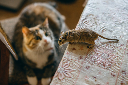 Cat playing with little gerbil mouse on the table. Natural light.