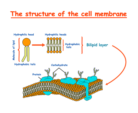 Foto per cell membrane structure. Education vector illustration - Immagine Royalty Free
