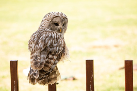 Photo for Ural owl sitting on a wooden fence looking back at camera - Royalty Free Image
