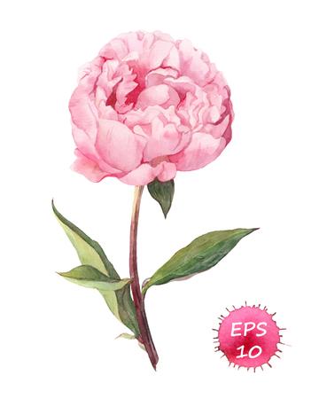 Ilustración de Peony flower. Watercolor botanic illustration, vector isolated - Imagen libre de derechos